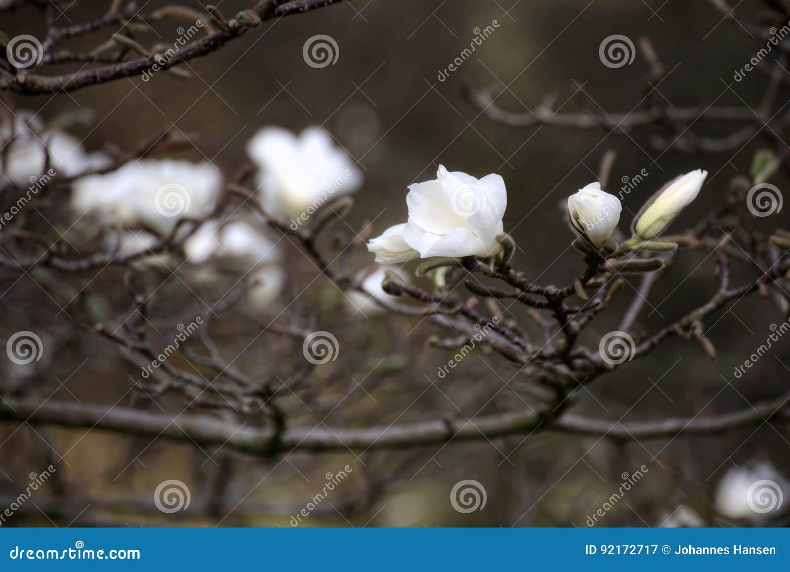 Magnoliakobus som är bekant som mokryeon, med vita blomningar