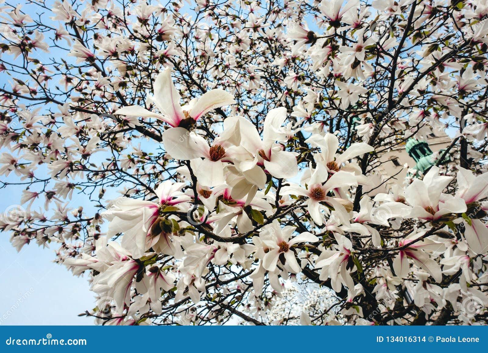 MagnoliaYulan Soulangeana blommor, blomningar på ett magnoliaträd mot blå himmel