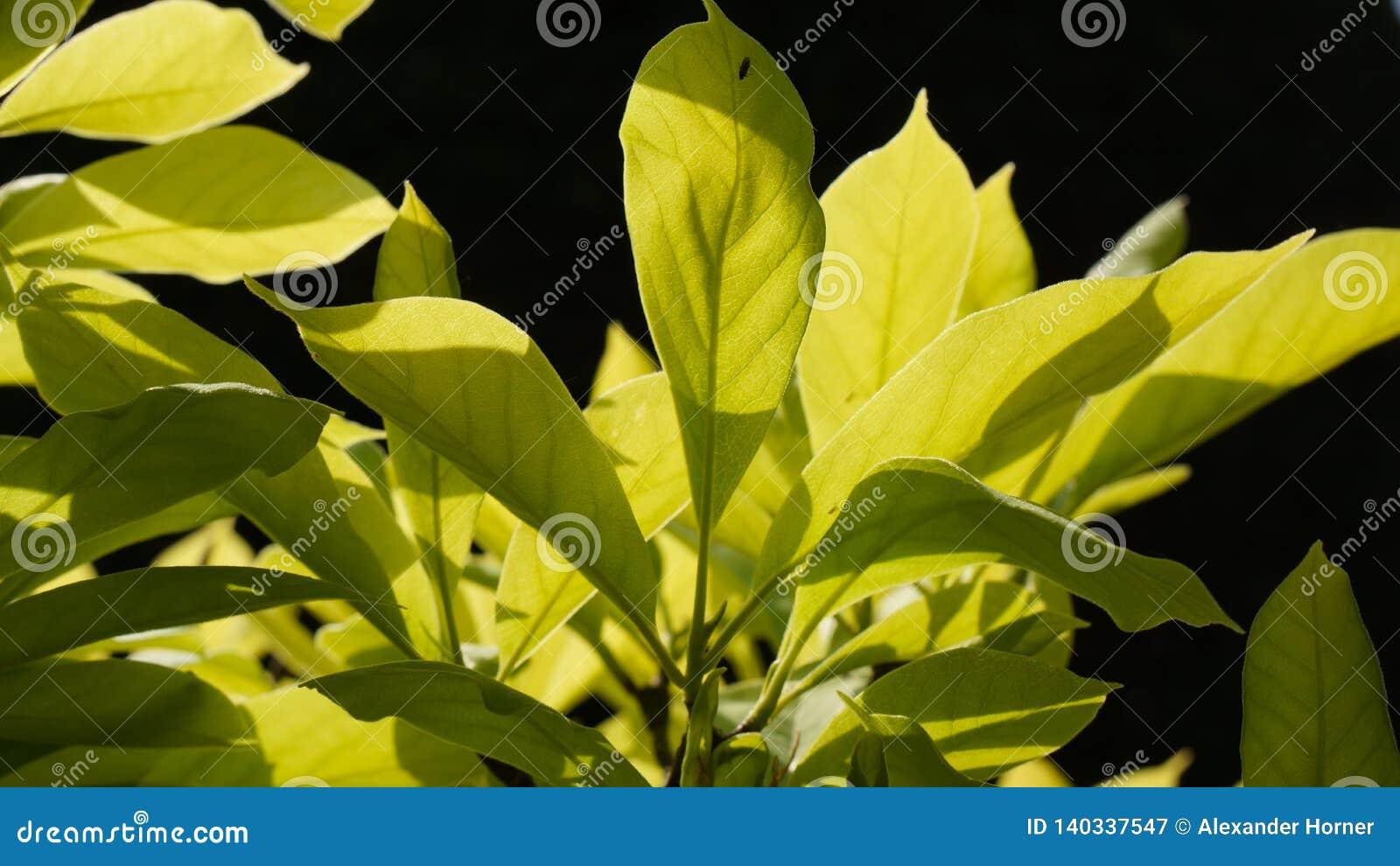 Magnolie verlässt makro schwarzen Hintergrund