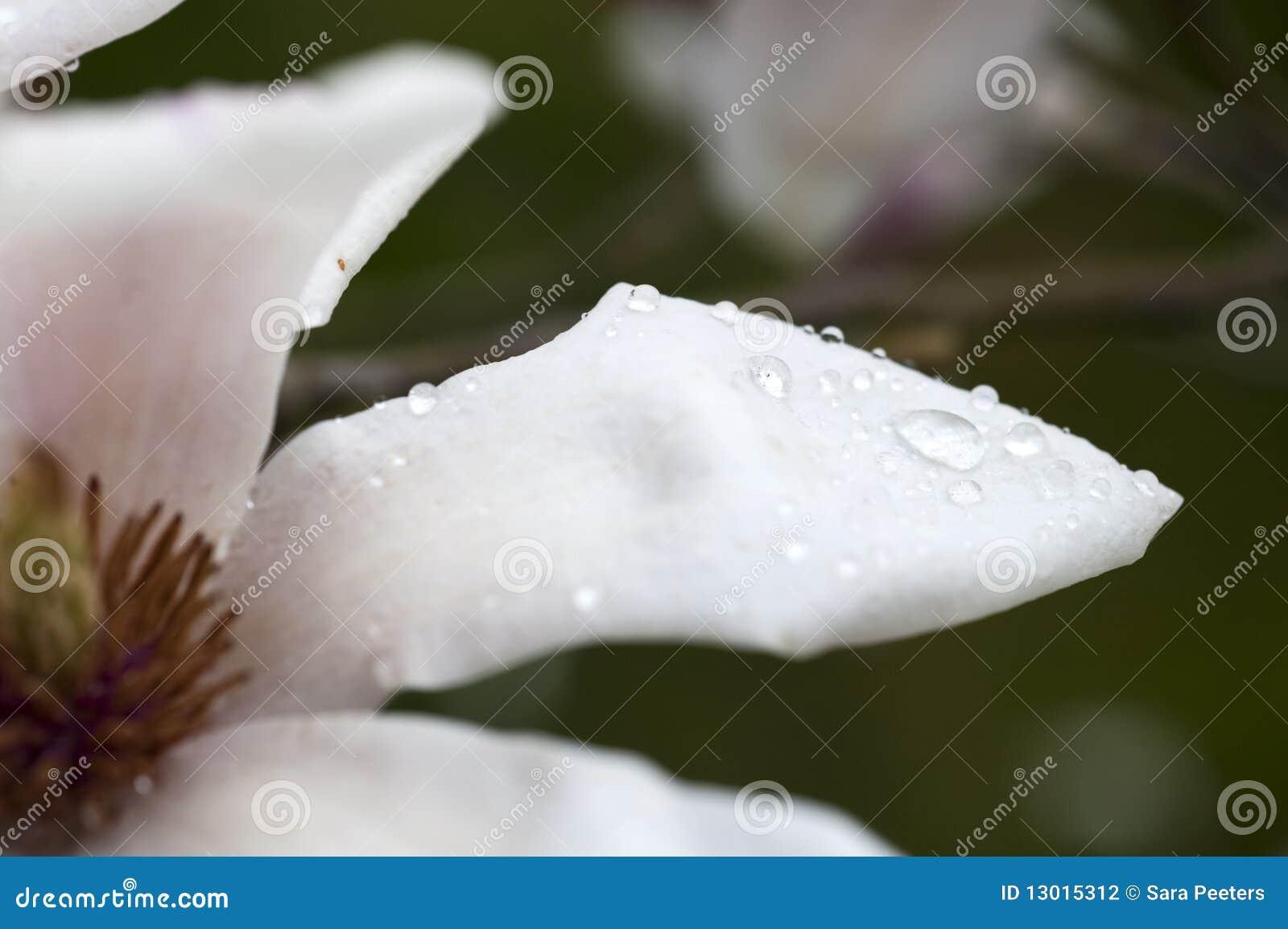 Magnolieblume