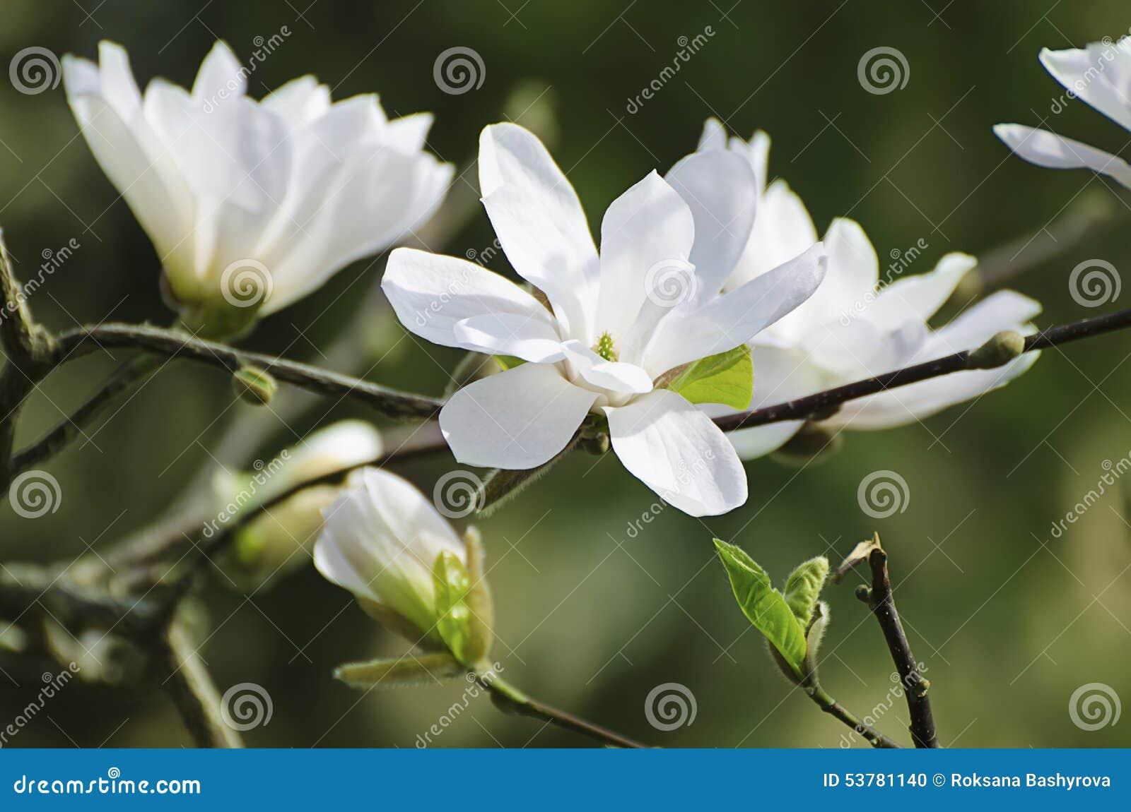 Magnoliowi biali kwiaty