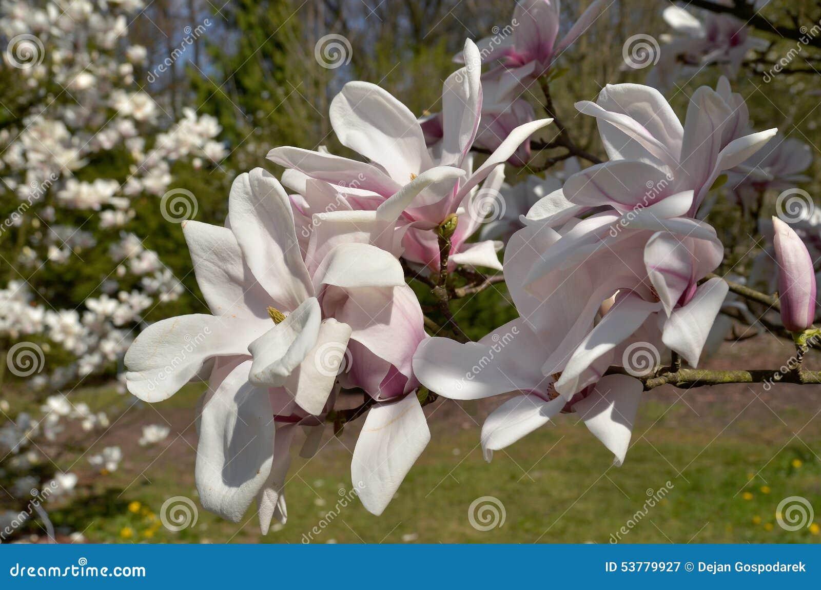 Magnoliowy soulangeana x