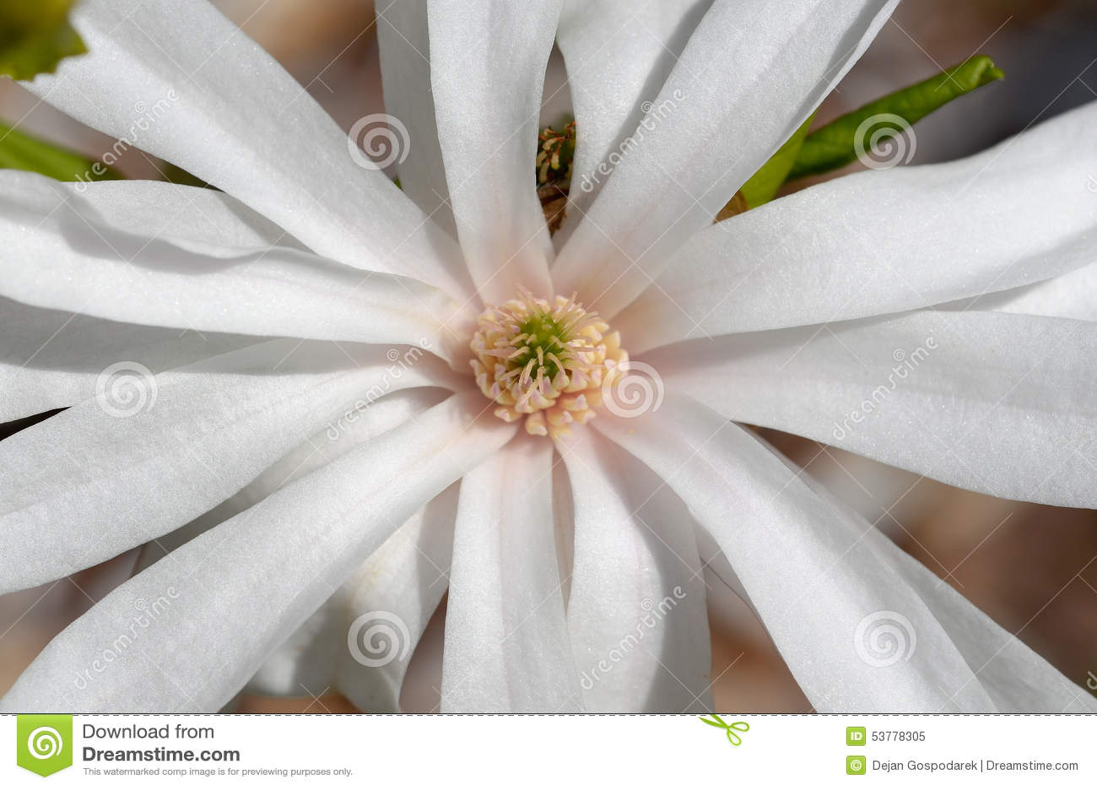 Magnoliowy stellata
