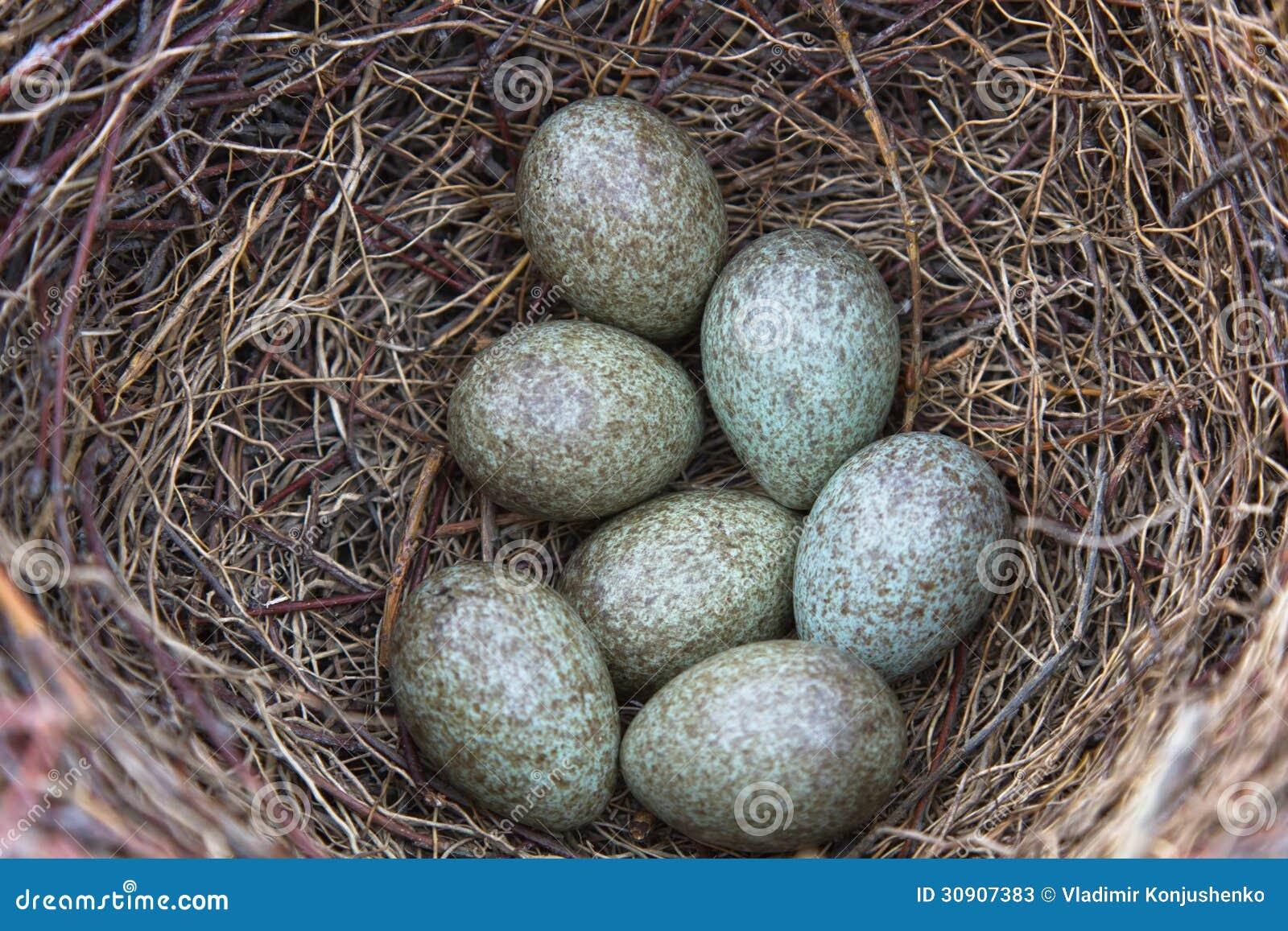 Magpie Eggs Stock Photos Image 30907383