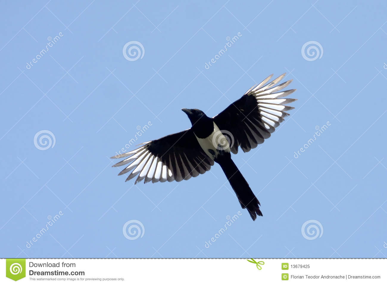 Magpie  Pica Royalty Free Stock Photo Image 13679425