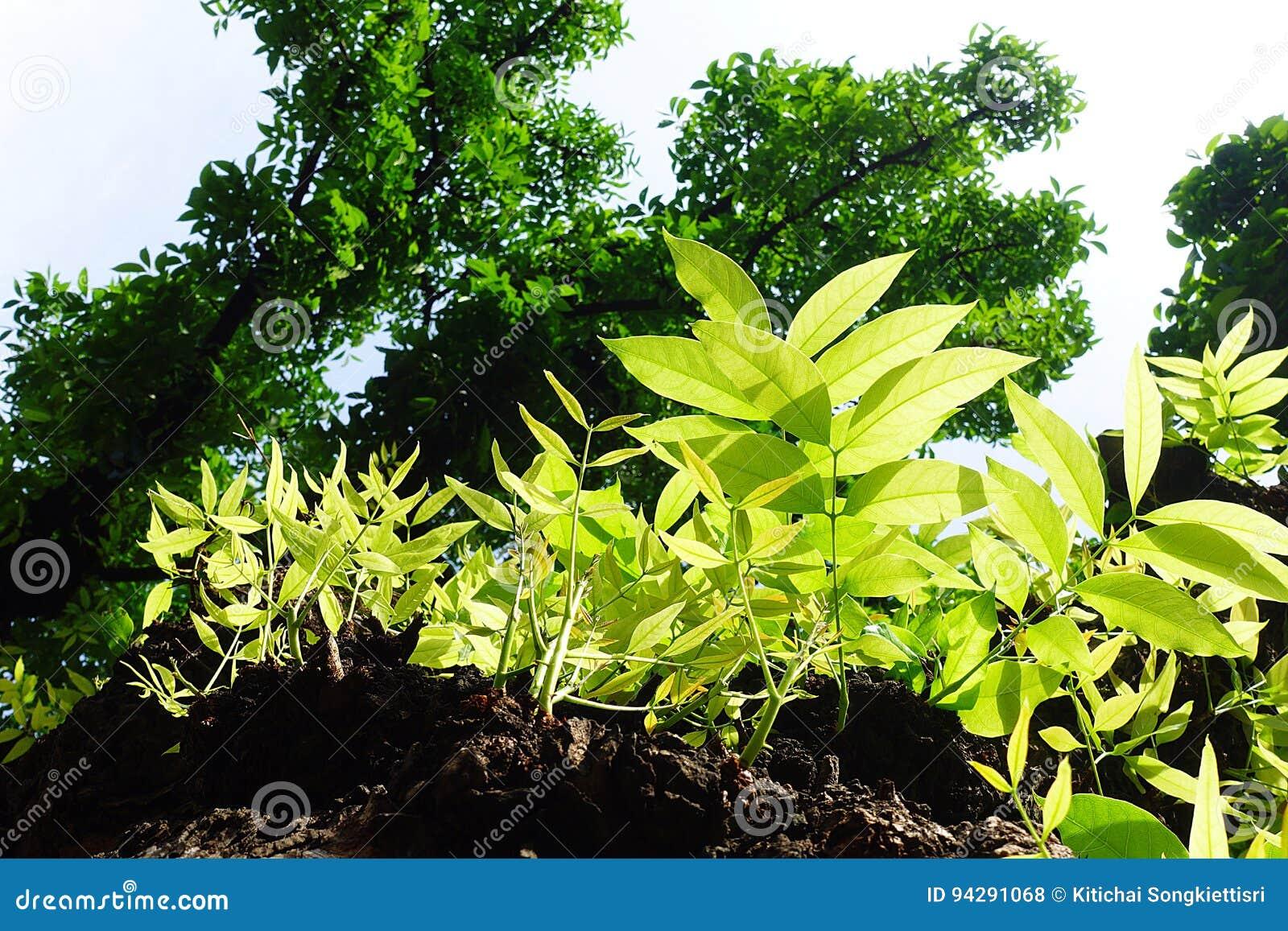 Mahagonibaum  Zebrano Baum Blatt | tentfox.com