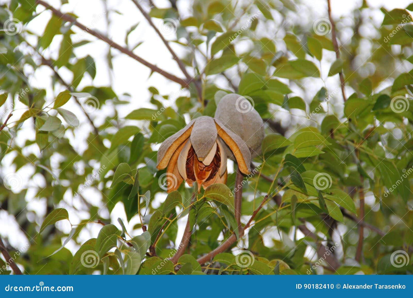 Mahagonibäume  Mahagonibaum-Braunfrucht stockfoto. Bild von betrieb - 90182410