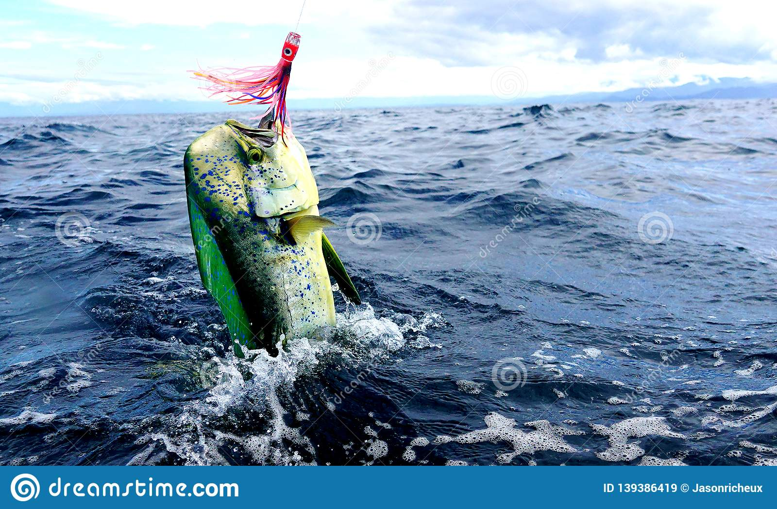 Mahi mahi or Dolphin fish jumping.