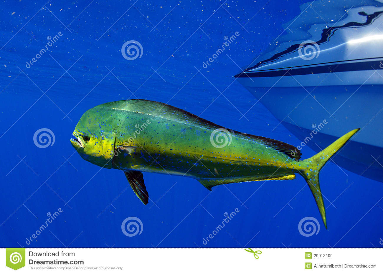 Mahi mahi or dolphin fish royalty free stock images for Is a dolphin a fish