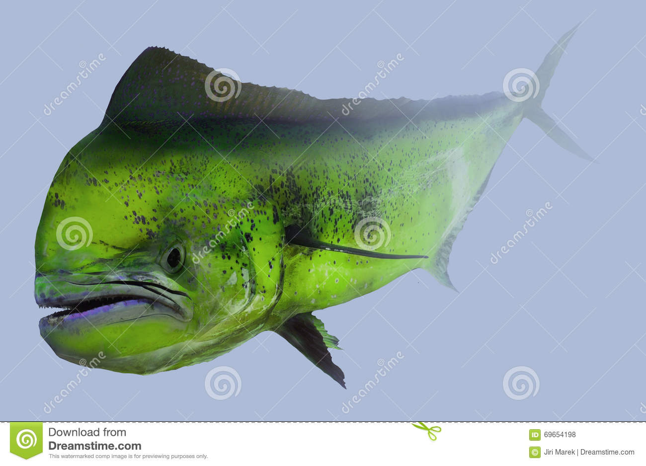 Mahi mahi dorado dolphin fishing portrait stock photo for Large ocean fish