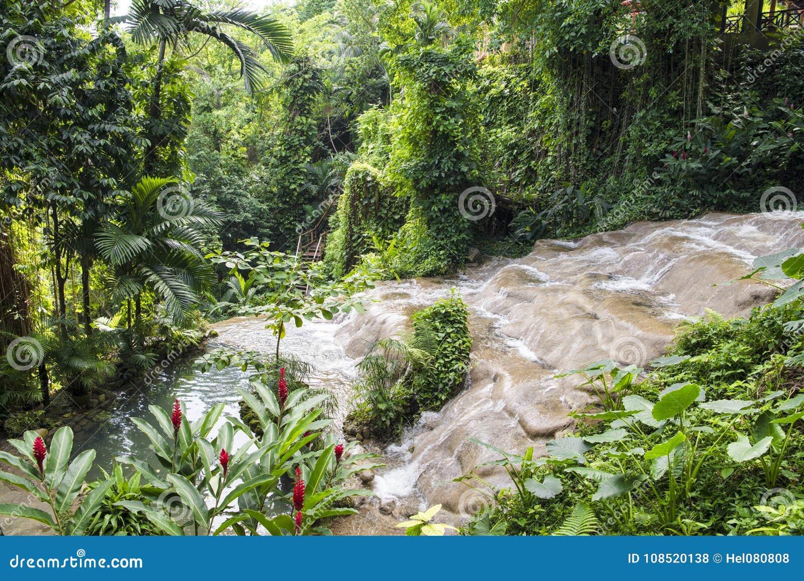 Mahoe tombe dans des jardins de Konoko, jamaïcains