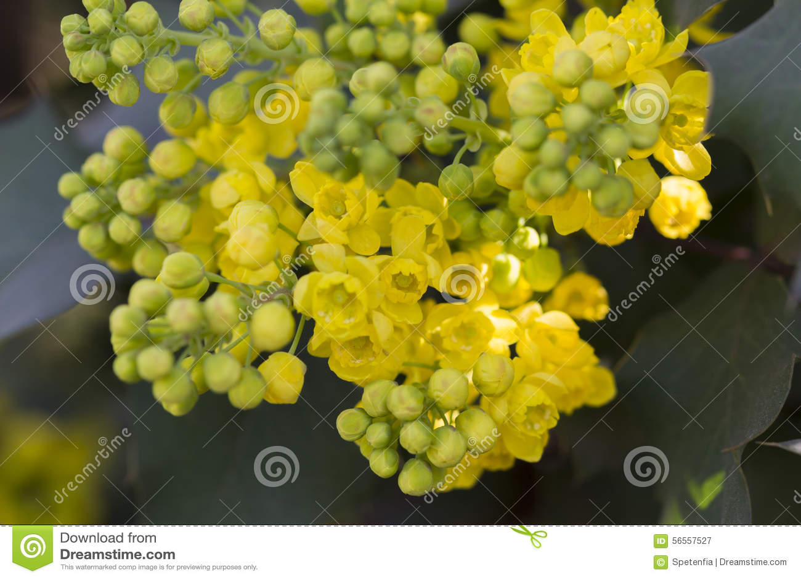 Download Mahonia στον κήπο στοκ εικόνα. εικόνα από φύλλο, φύση - 56557527