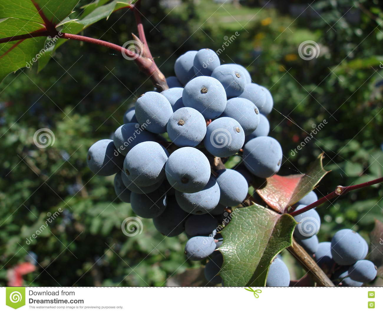 mahonia aquifolium blaue frucht und gr nbl tter stockbild. Black Bedroom Furniture Sets. Home Design Ideas