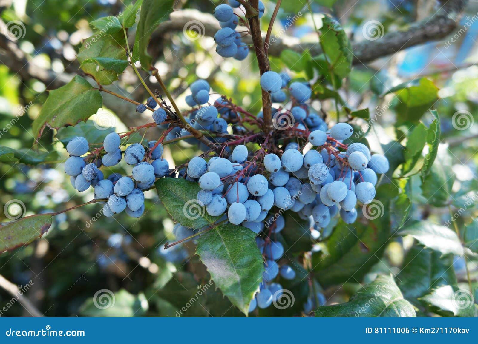 mahonia aquifolium blue fruits and green leaves stock photo image