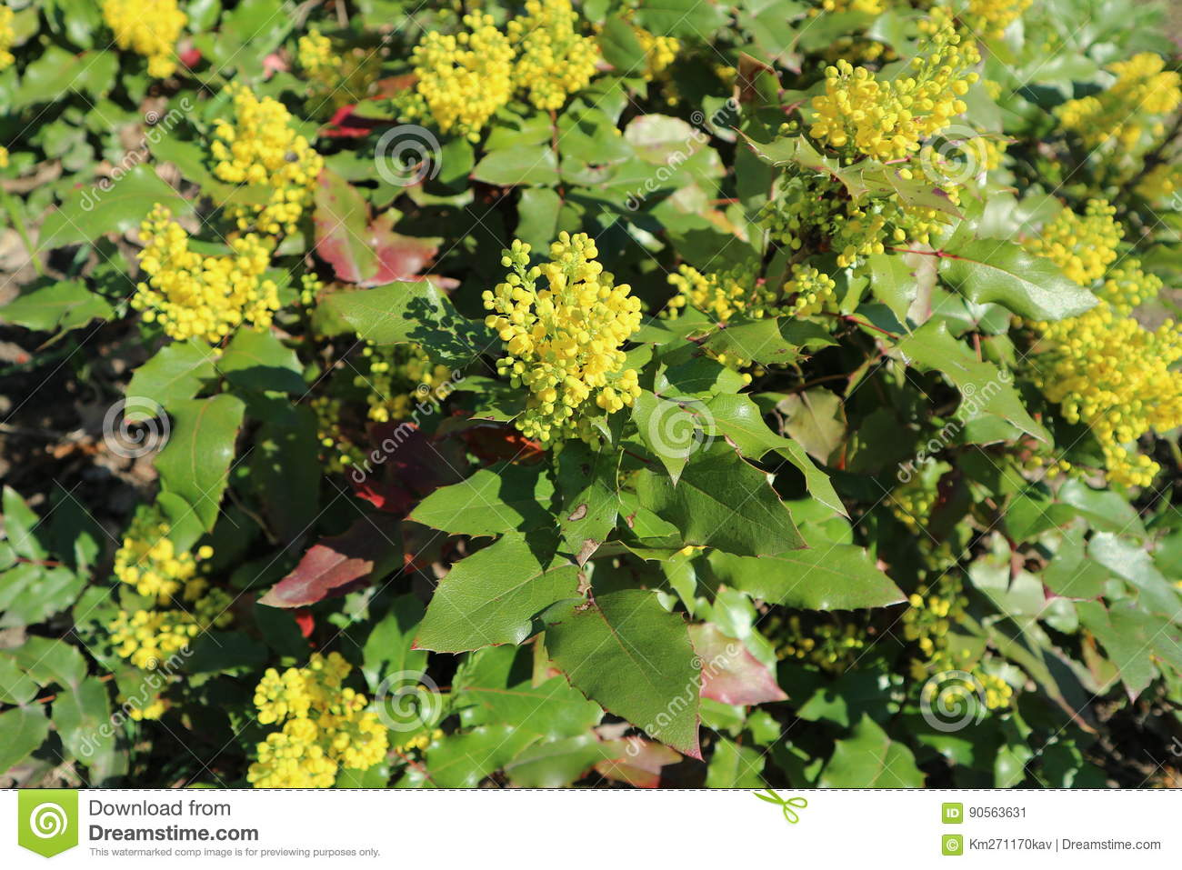 Mahonia aquifolium green leaves and yellow flowers stock image download mahonia aquifolium green leaves and yellow flowers stock image image of leaves ngarden mightylinksfo