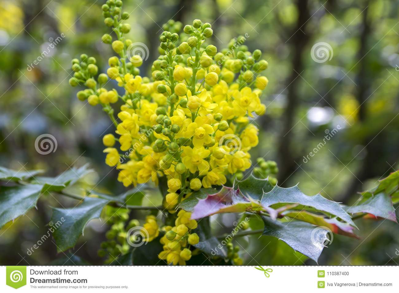Mahonia aquifolium shrub with yellow flower stock photo image of mahonia aquifolium shrub with yellow flower mightylinksfo