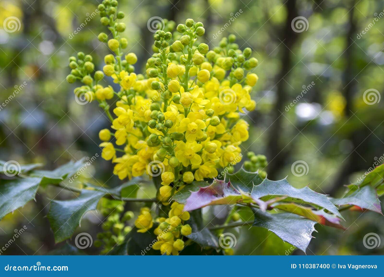 Mahonia Aquifolium Shrub With Yellow Flower Stock Photo Image Of