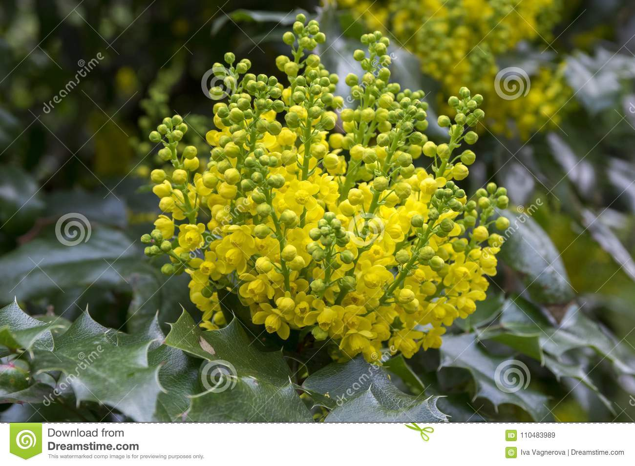Mahonia aquifolium shrub with yellow flower stock image image of download mahonia aquifolium shrub with yellow flower stock image image of blossom blooming mightylinksfo