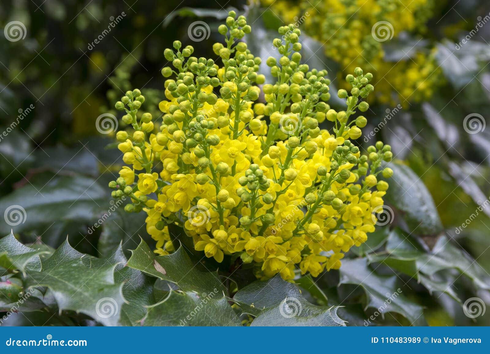 Mahonia Aquifolium Shrub With Yellow Flower Stock Image Image Of