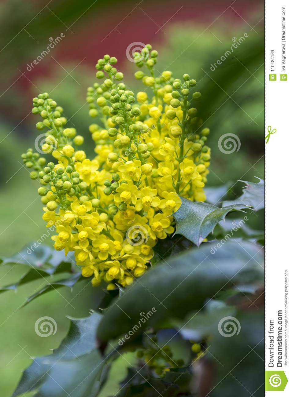 Mahonia Aquifolium Shrub With Yellow Flower Stock Image Image Of