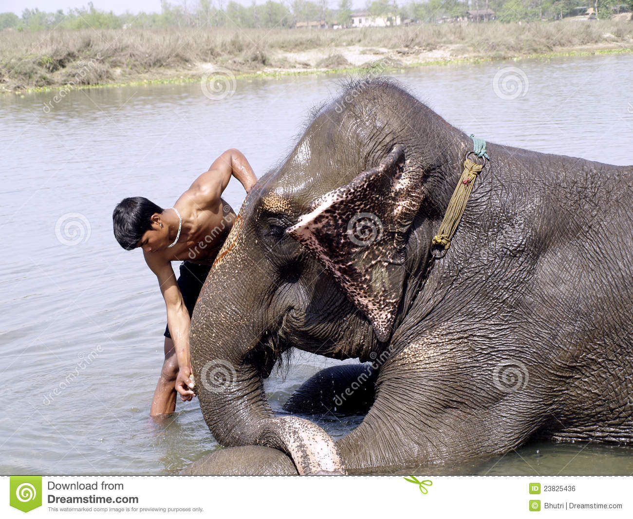 Mahout Cleaing His Elephant Editorial Photo Image 23825436