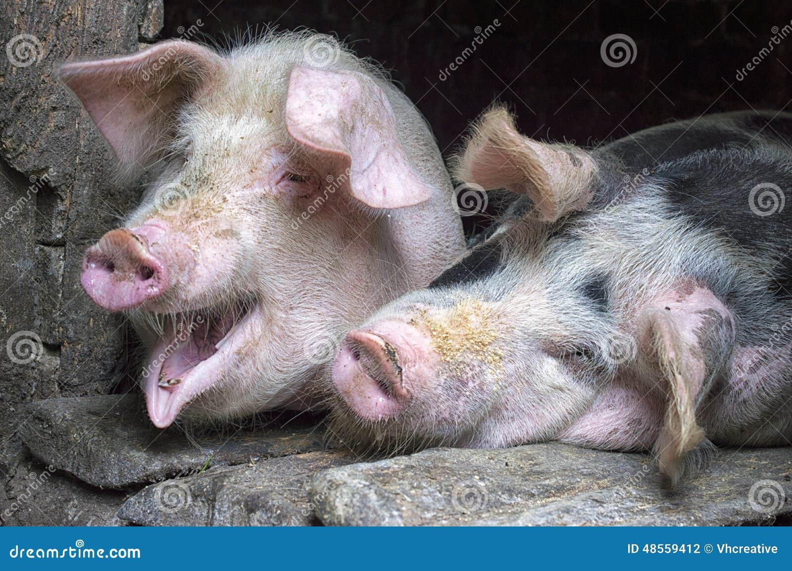 abbastanza maiali-rosa-divertenti-nella-  HG62