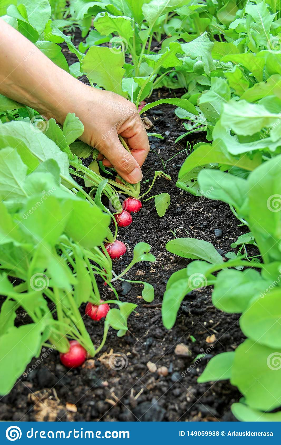 Main d une femme sélectionnant la première récolte des radis dans le jardin augmenté de lit
