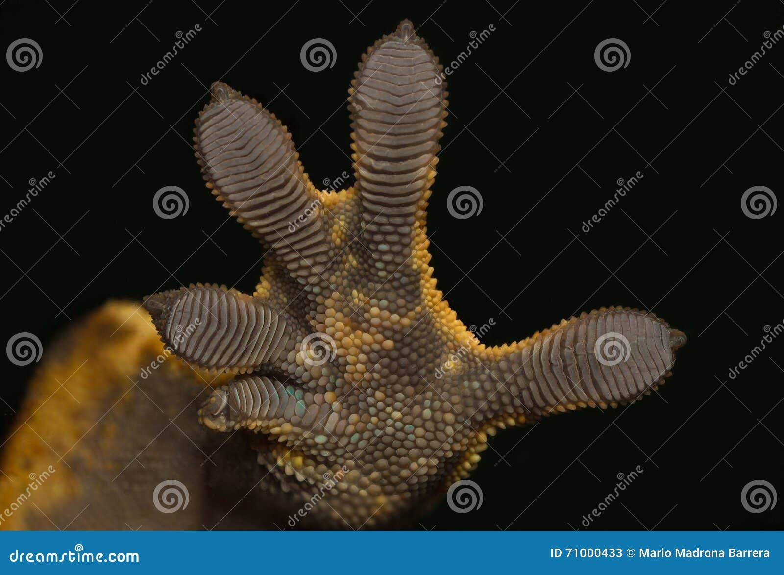 Main de gecko