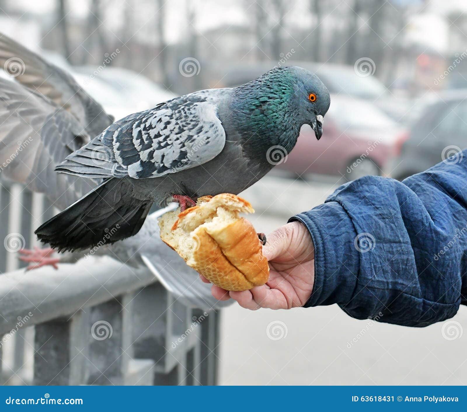 Main de la femme alimentant un pigeon