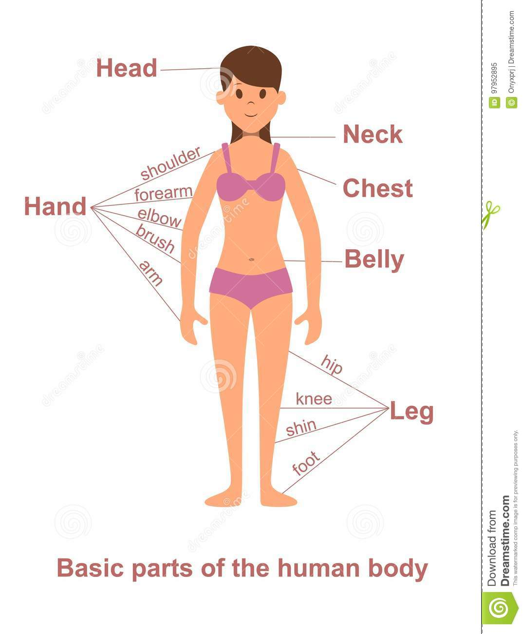 Main Parts Of Human Body On Female Figure Stock Vector