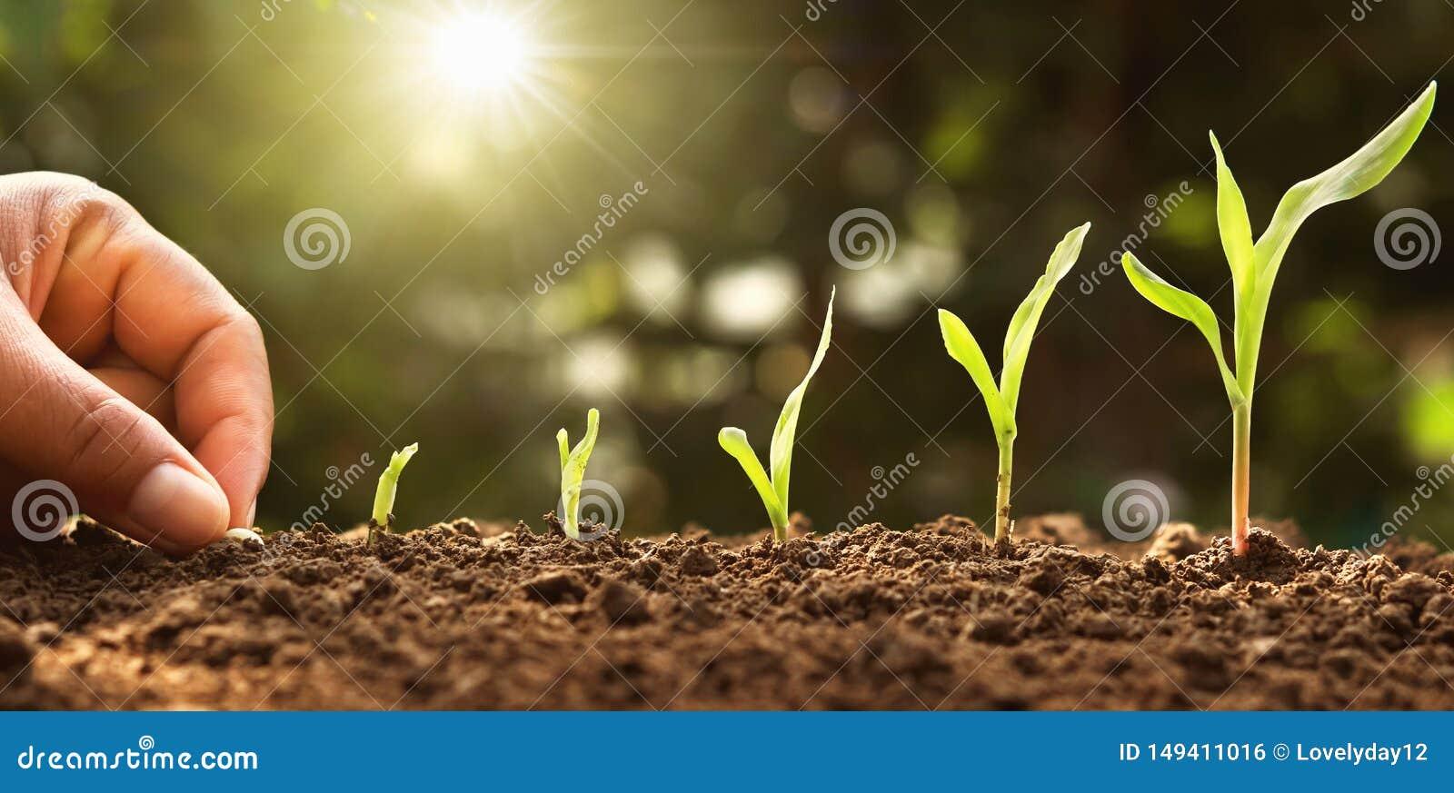 Main plantant la graine de ma?s de la moelle /courgette dans le potager avec le soleil