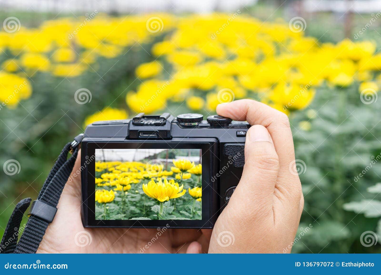 Main prenant la photo de belles fleurs avec l appareil photo numérique mirrorless à la ferme de fleur de chrysanthème