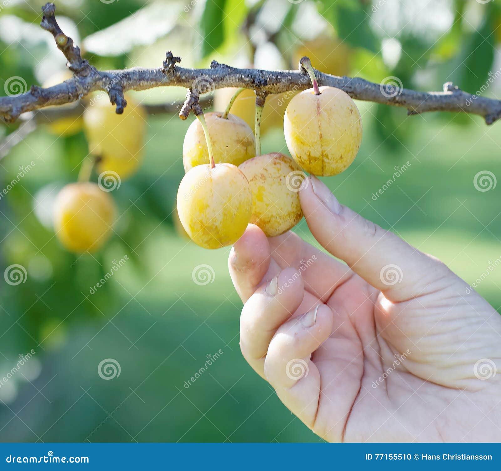 Main sélectionnant la prune jaune de l arbre