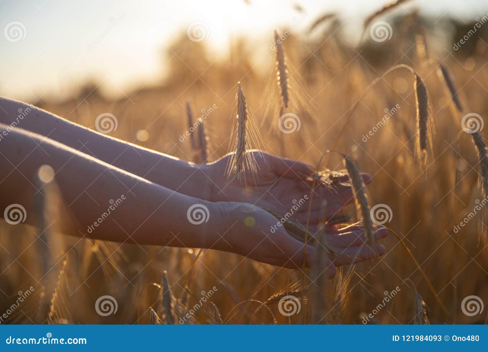 Main sur un champ de blé