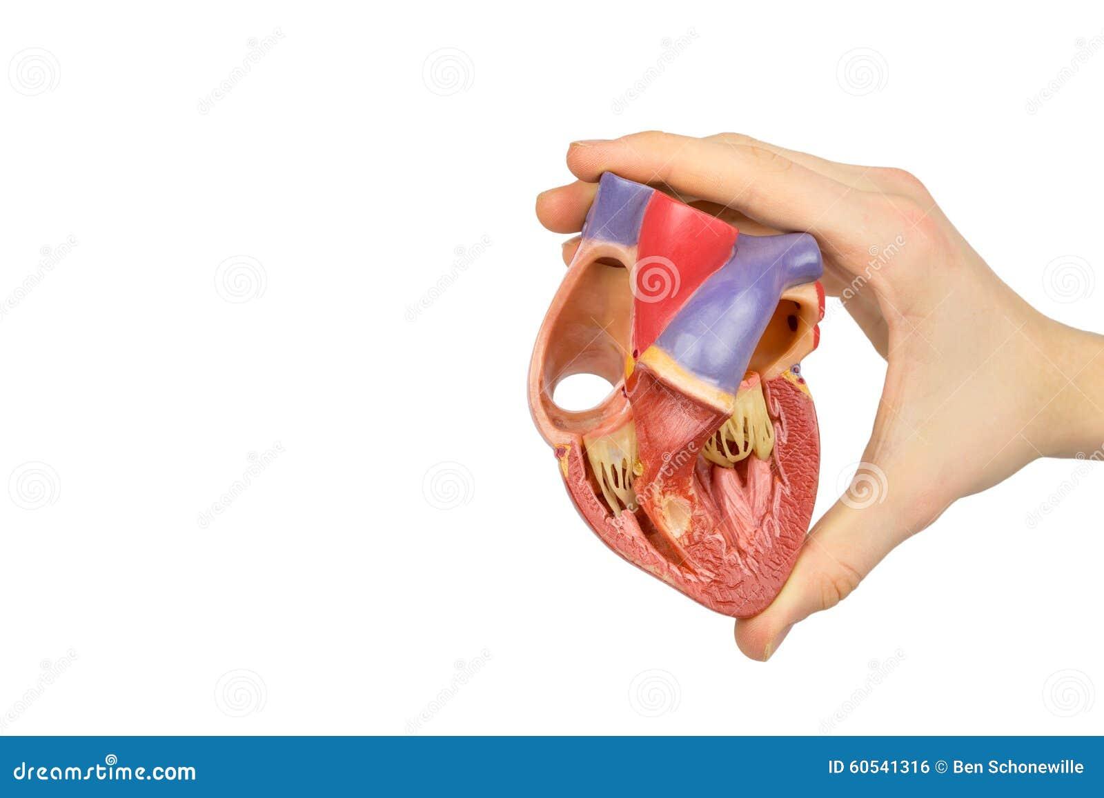 Main tenant le coeur humain ouvert de modèle sur le blanc