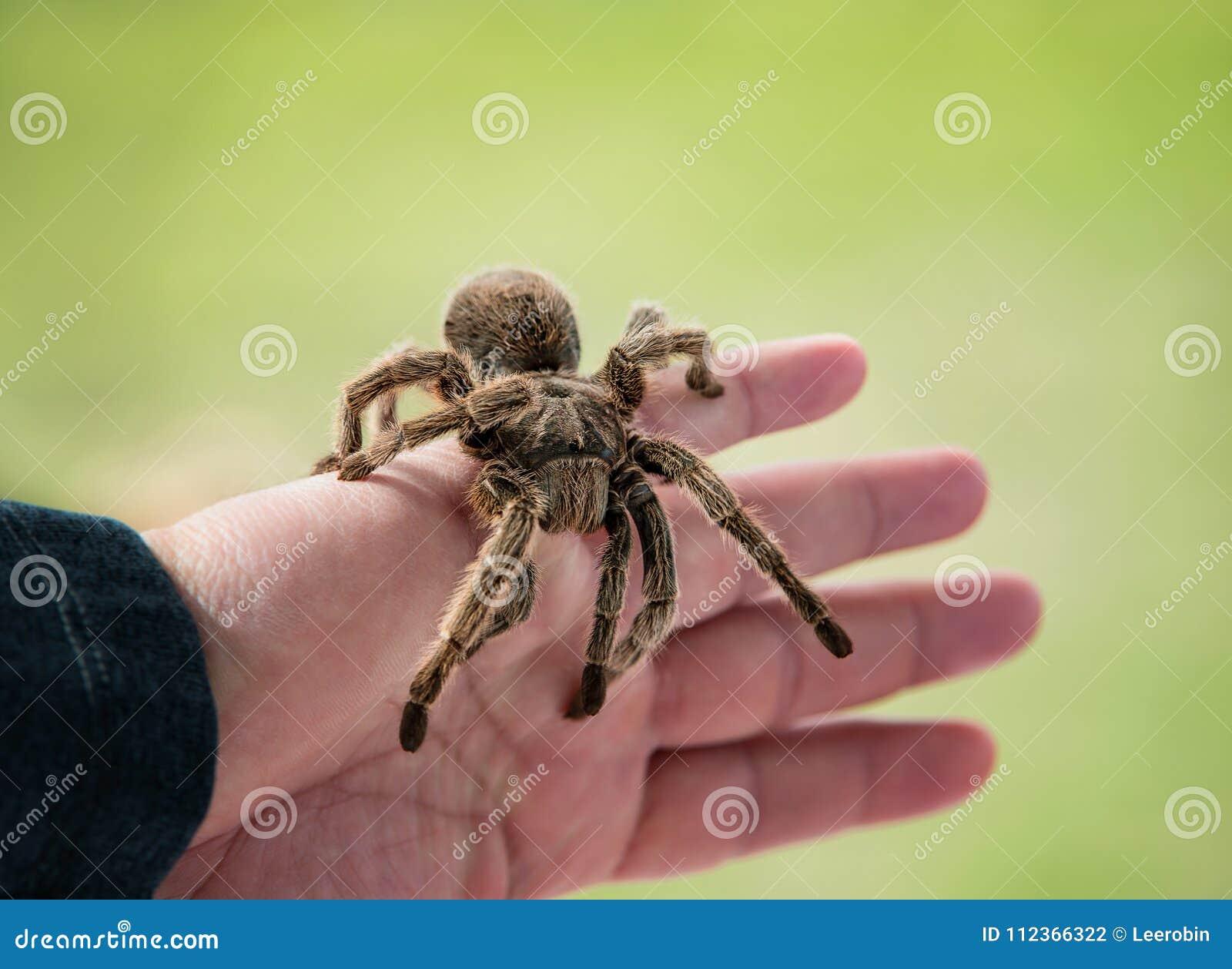Main tenant une araignée de tarentule