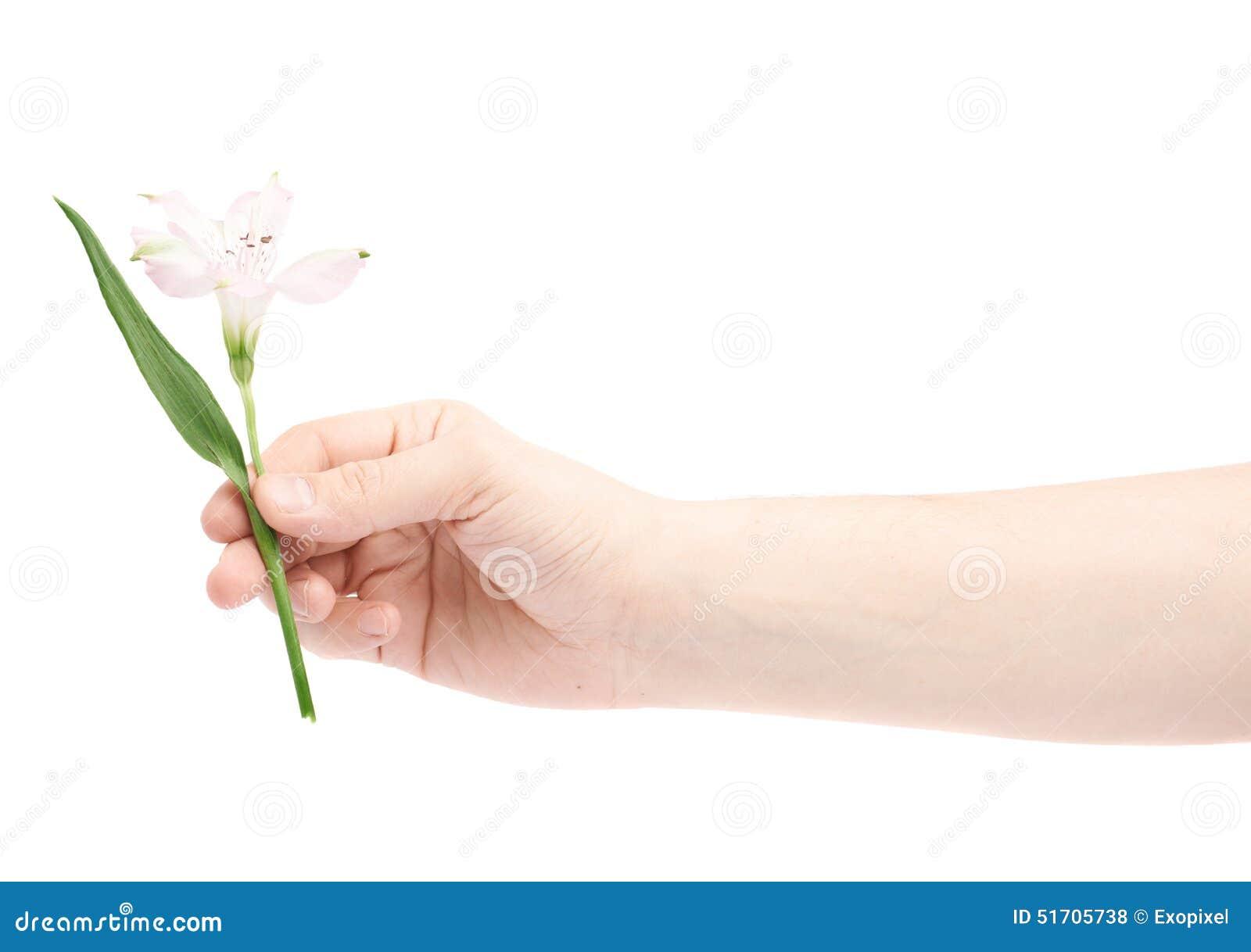 Main Tenant Une Fleur D Alstroemeria Photo Stock Image Du Fragment