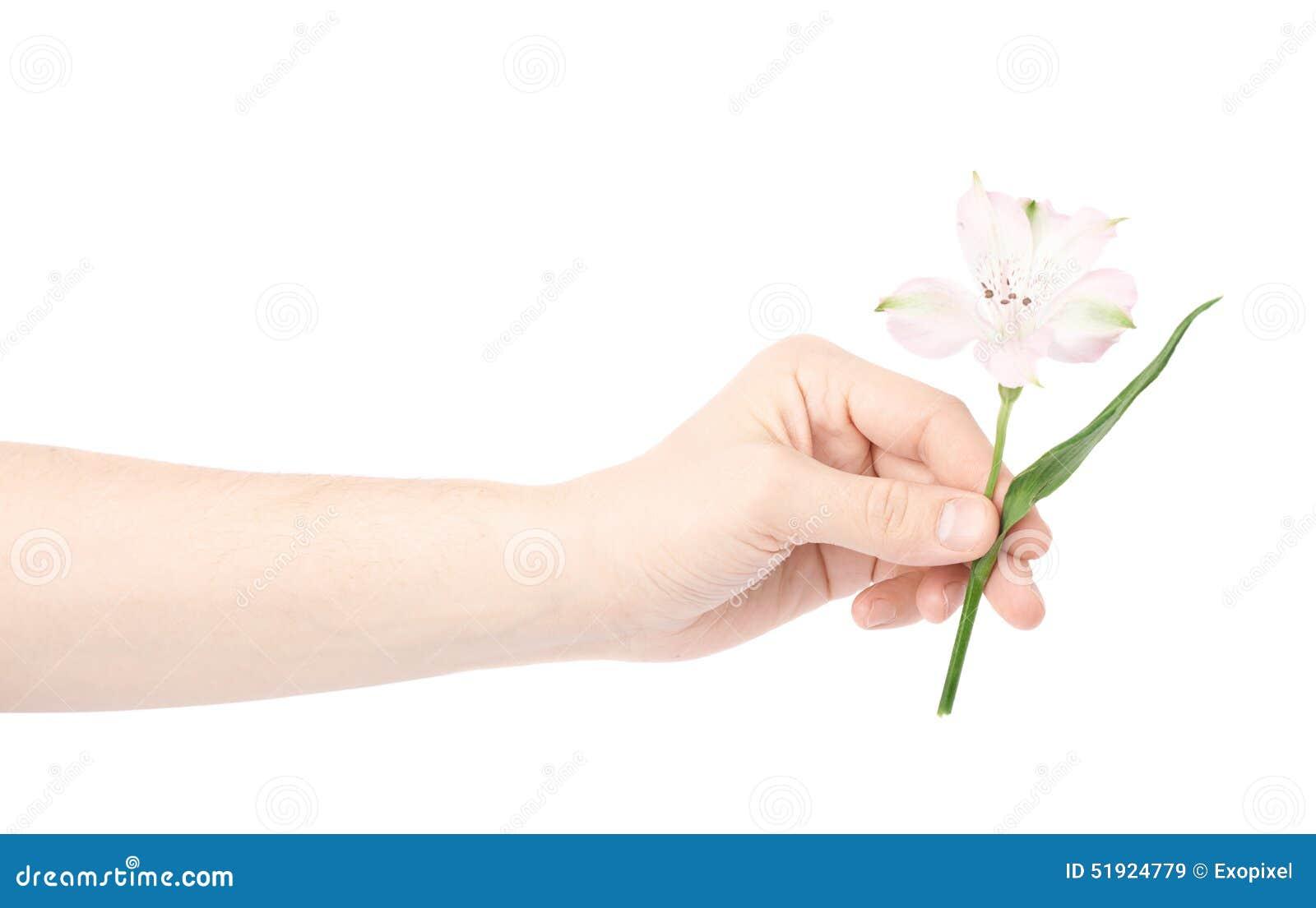 Main Tenant Une Fleur D Alstroemeria Image Stock Image Du Male