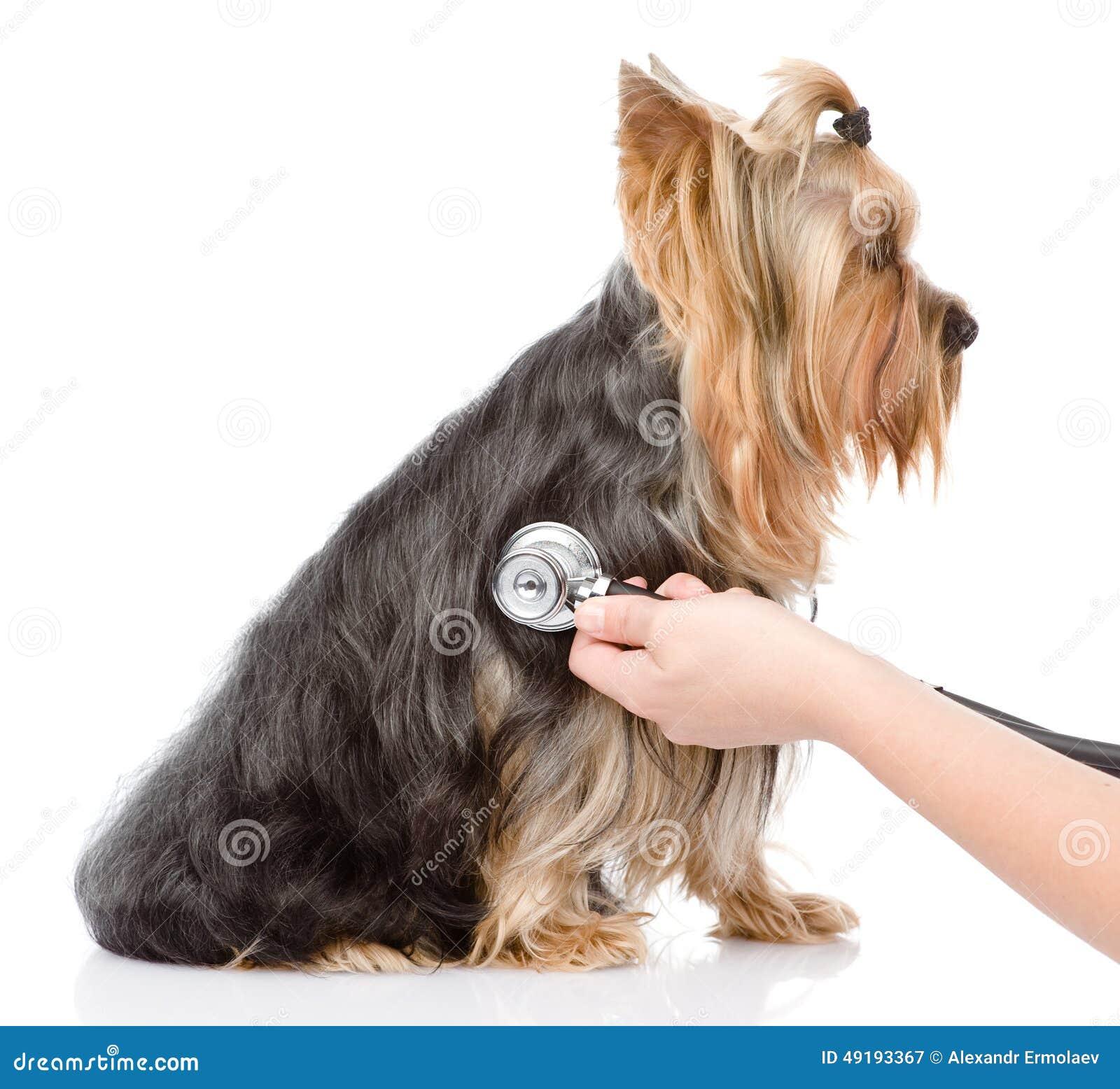 Main vétérinaire examinant un chiot D isolement sur le backgroun blanc