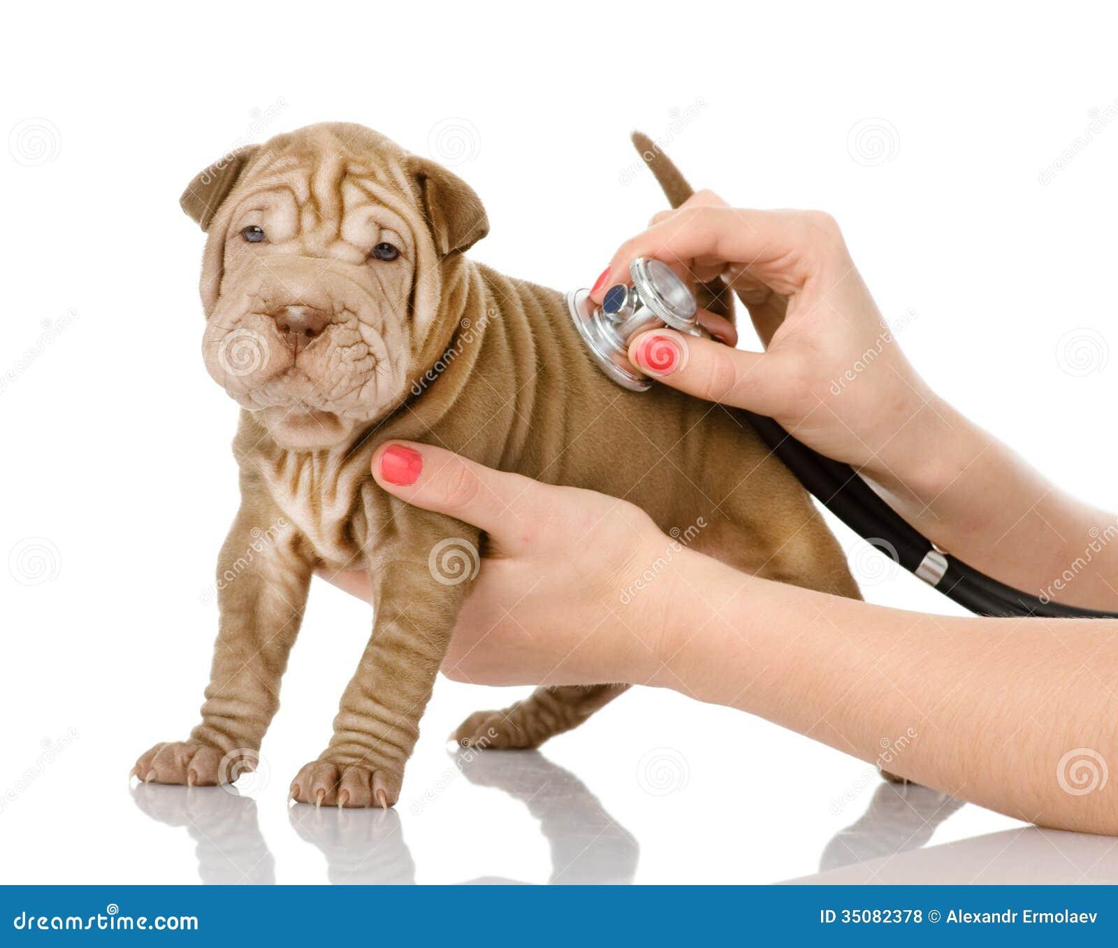 Main vétérinaire examinant un chiot de sharpei