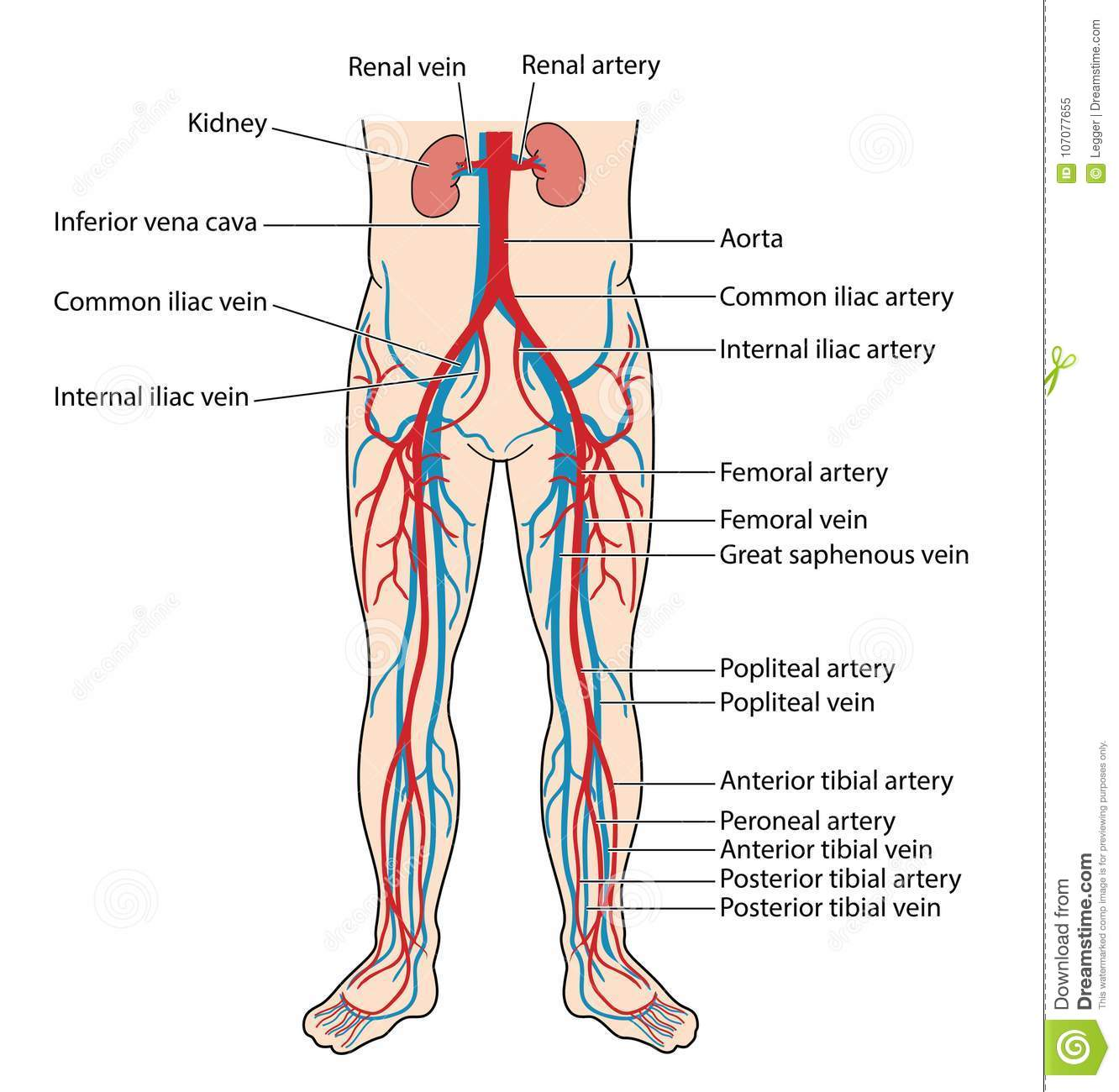 Blood Vessels Of The Lower Body Stock Vector Illustration Of Vein