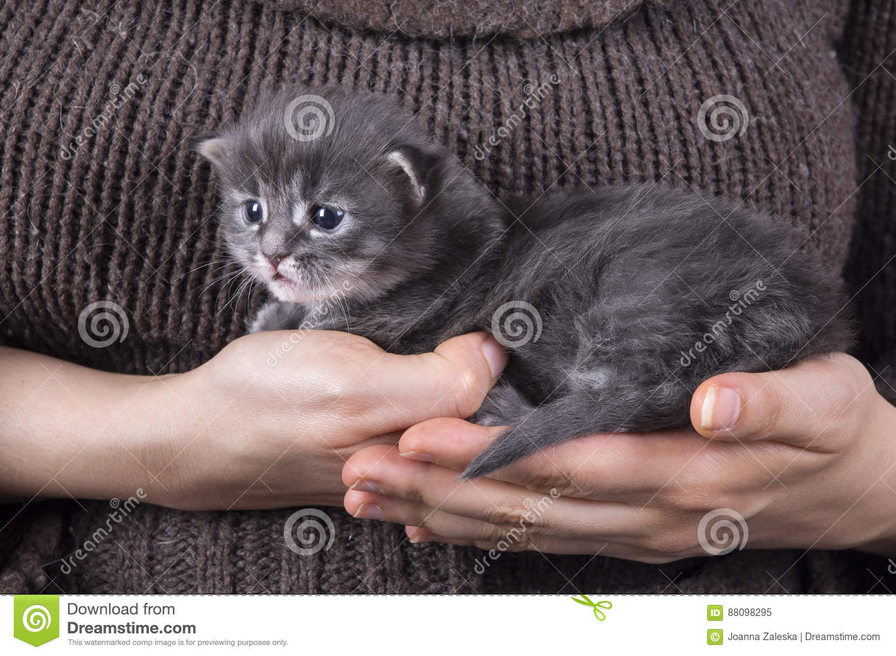 Maine Coon Baby Kitten Stock Image Image Of Cute Coon 88098295