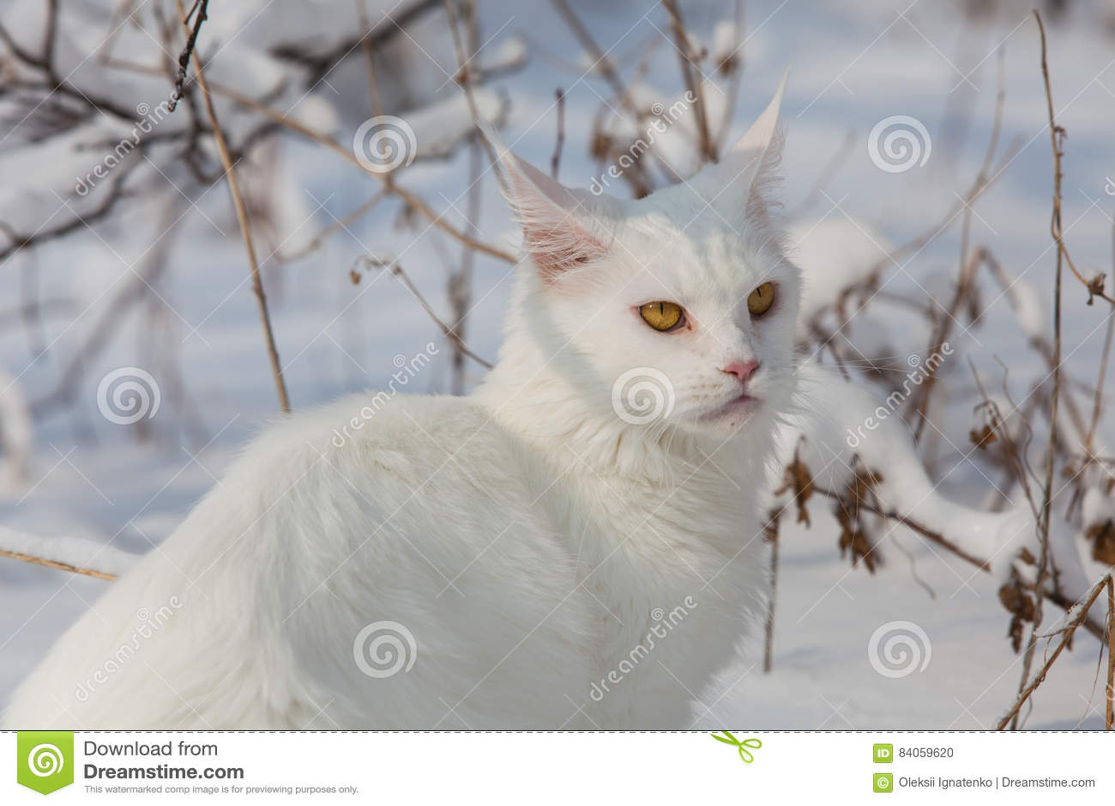 Maine Coon Biały Kot W Dzikim śniegu Zdjęcie Stock Obraz Złożonej