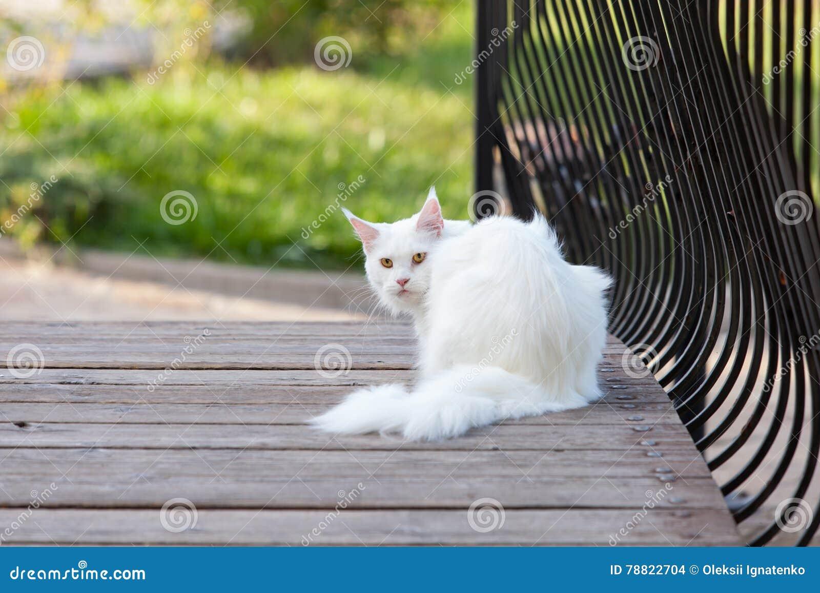 Maine Coon Biały Kot W Dzikim Zdjęcie Stock Obraz Złożonej Z Ssak