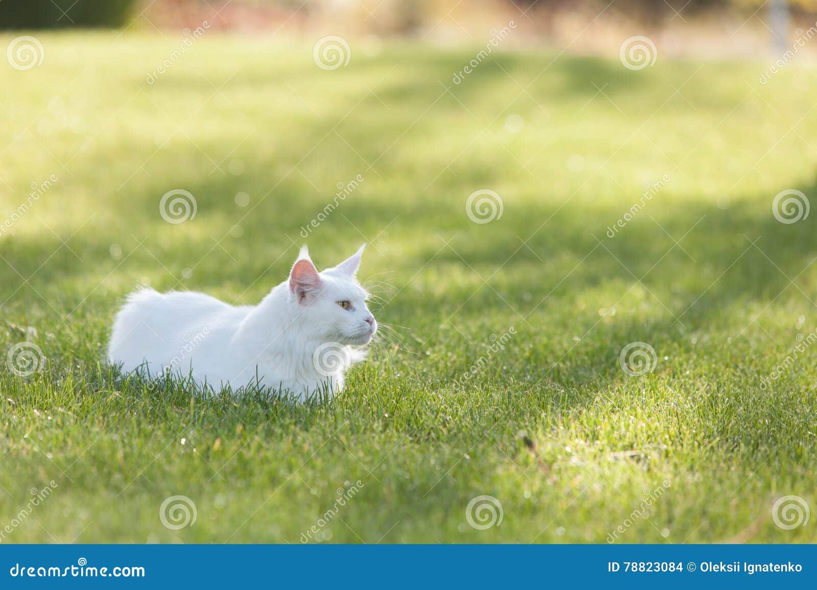 Maine Coon Biały Kot W Dzikim Zdjęcie Stock Obraz Złożonej Z Ogród