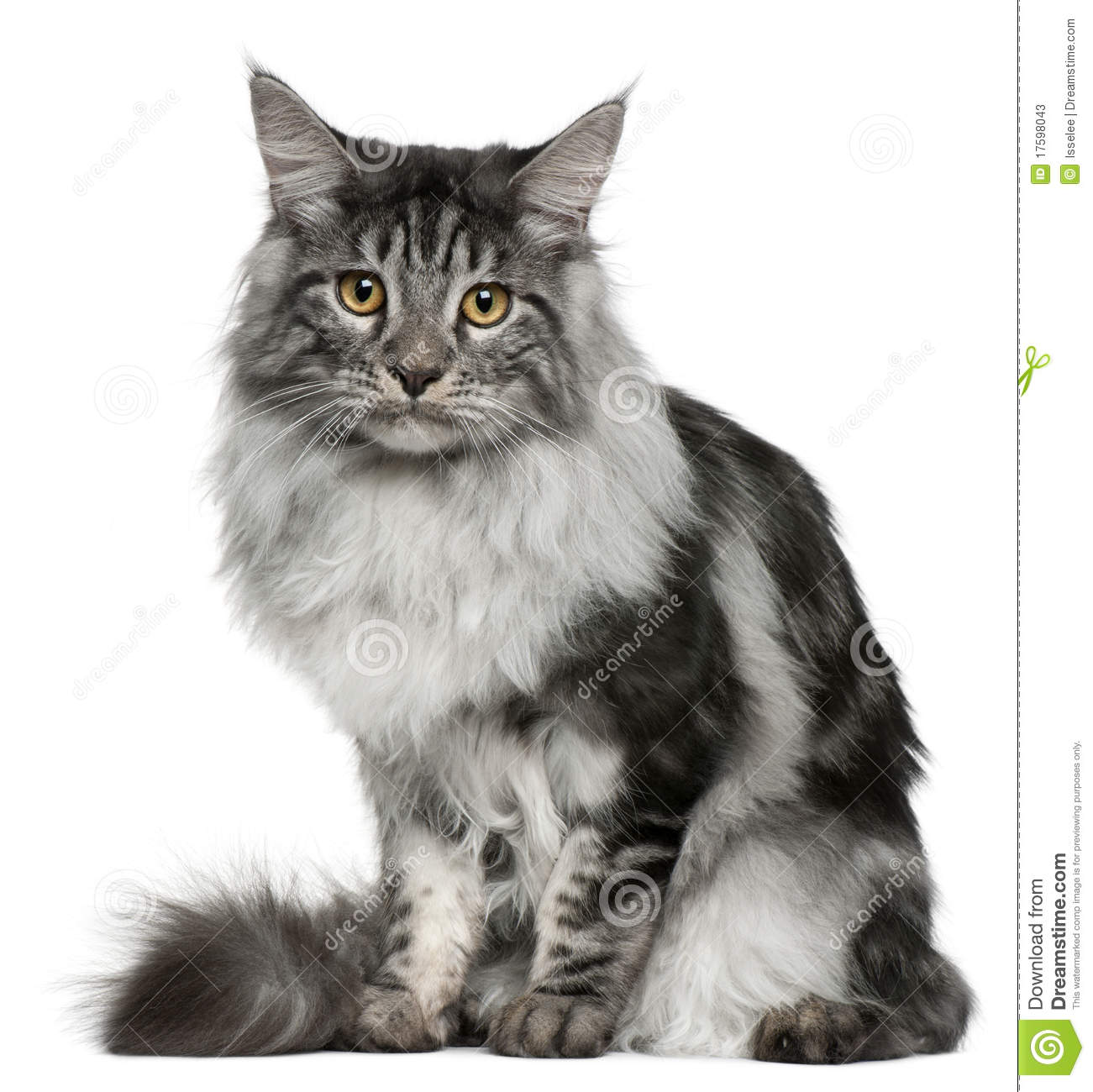 maine coon cat 7 months old sitting stock image image of looking indoors 17598043. Black Bedroom Furniture Sets. Home Design Ideas