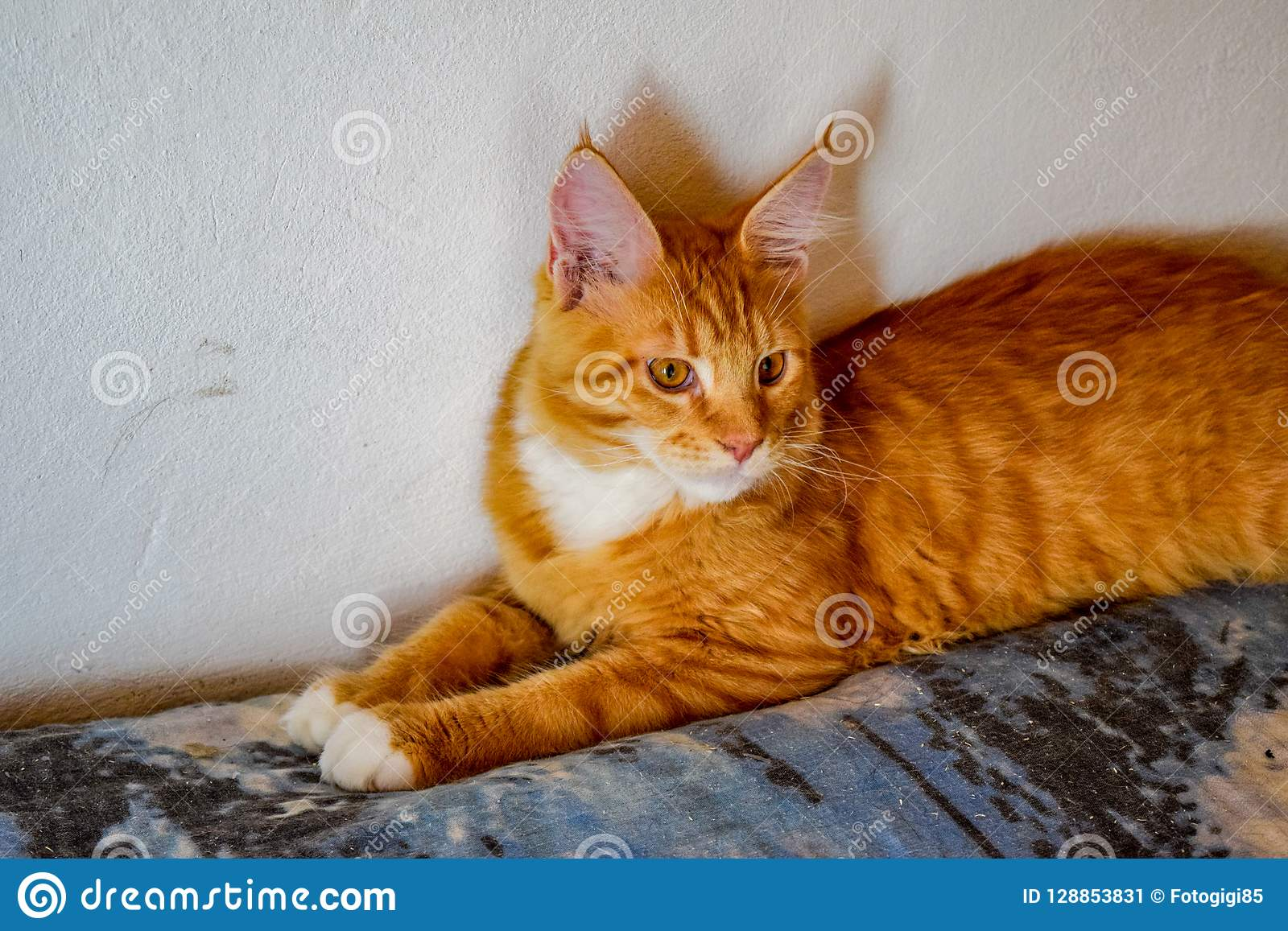 Maine Coon Cat Giant Maine Coon Cat. Breeding Of Purebred