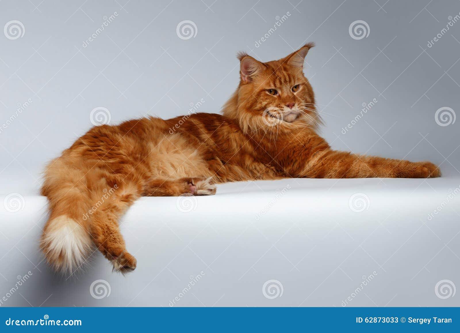 Maine Coon Cat Lies en blanco