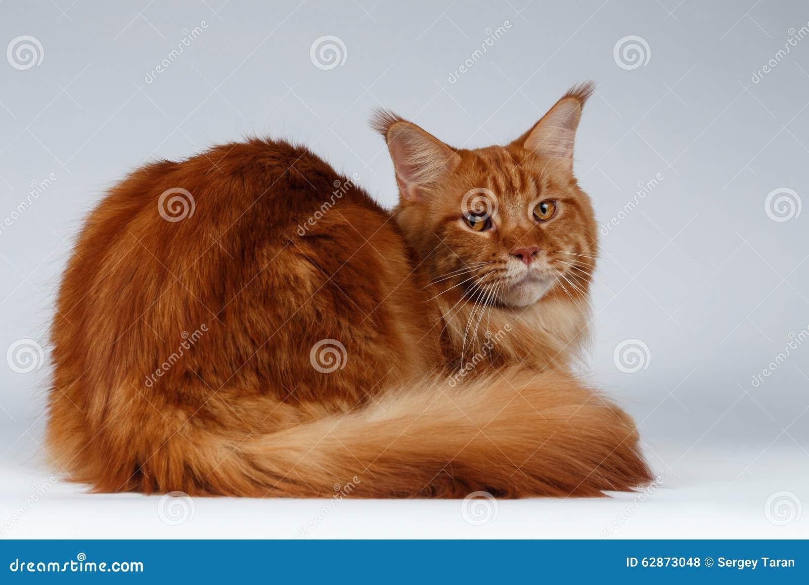 Maine Coon Cat Lies och vänt tillbaka på vit