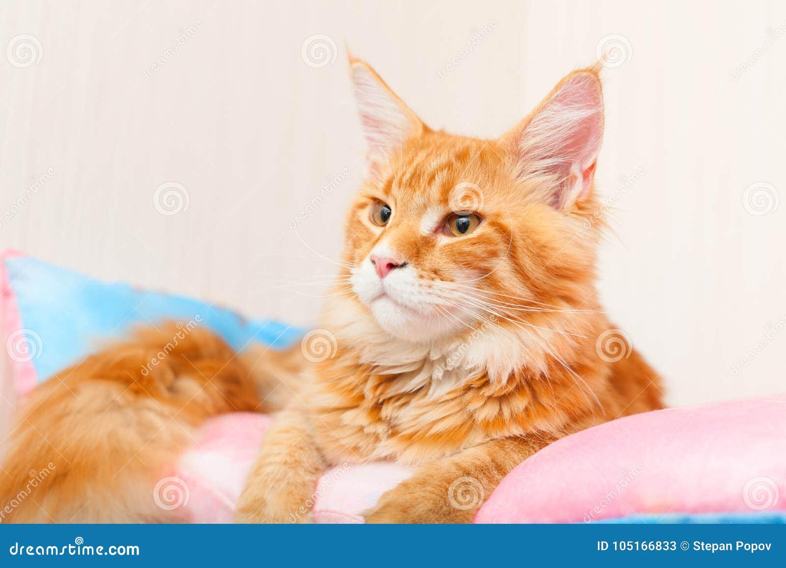 Maine Coon Cat sur un oreiller